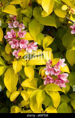 Golden foliage and laste spring pink flowers of the hardy deciduous shrub, Weigela 'Looymansii Aurea' - Stock Photo