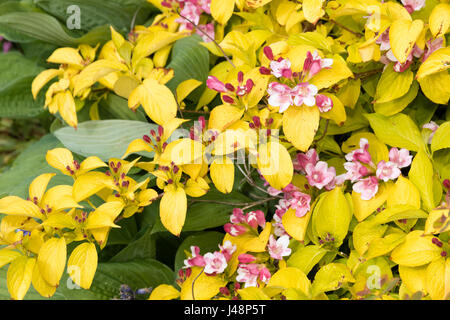 Golden foliage and laste spring pink flowers of the hardy deciduous shrub, Weigela 'Looymansii Aurea' - Stock Photo