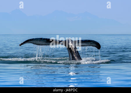 A Humpback Whale (Megaptera novaeangliae) lifts it's fluke as it returns to the depths to feed in the calm waters - Stock Photo