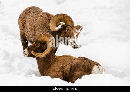 Large Bighorn Ram (Ovis canadensis) approaches another large Bighorn ram lying in the snow, Shoshone National Forest - Stock Photo