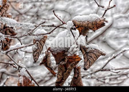 Dry frozen leaves - Stock Photo