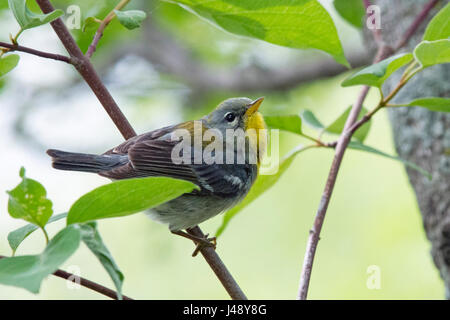 Northern Parula breeding male poses on leafy twig - Stock Photo