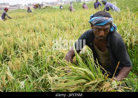 Dhaka, Bangladesh. 10th May, 2017. Bangladeshi farmers cutting and collects paddy after harvest at Gabtoli in Dhaka, - Stock Photo