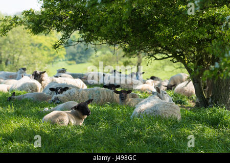 Preston, UK. 11th May, 2017. Sheep take to the shade of a hedge as temperatures hit 20 degrees centigrade near Garstang, - Stock Photo