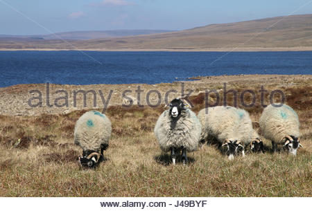 Cow Green Reservoir, Co Durham, UK. 11th May, 2017. Enjoying the bright and sunny day the hardy Swaledale Sheep - Stock Photo