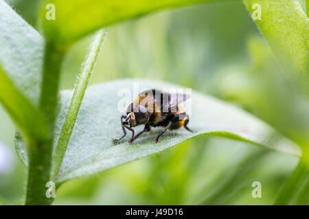 Close up of a Narcissus bulb fly, a specie of hoverfly, displaying similar color patterns as bumblebees. - Stock Photo