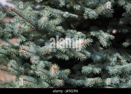 The branches of a blue spruce, close, background - Stock Photo