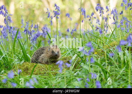 Hedgehog, Erinaceus europaeus , in Bluebells, Hyacinthoides non-scripta, April, Sussex, UK. - Stock Photo