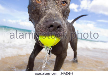 Dark brown dog with a tennis ball in his mouth playing in the surf at Mokuleia Beach, Oahu, Hawaii, USA - Stock Photo