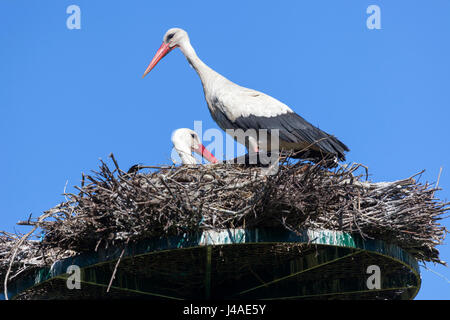 In the Monbardon wet area (Hossegor - Landes - France), a couple of white storks sharing in the incubation of eggs. - Stock Photo