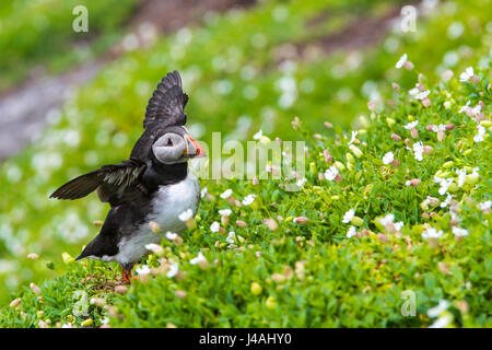 atlantic puffin, Fratercula arctica, on Skellig Michael, County Kerry, Ireland - Stock Photo