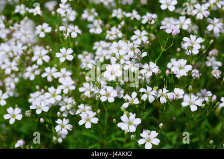 Perennial baby's breath or Gypsophila elegans in the home garden. - Stock Photo