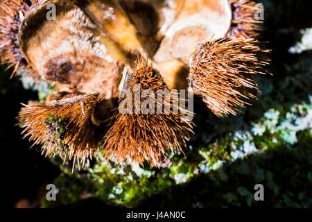 Sweet chestnut hedgehog. El Tiemblo, Ávila, Castilla y León, Spain, Europe - Stock Photo