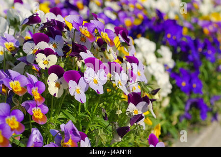 many pansy flowers in spring - Stock Photo