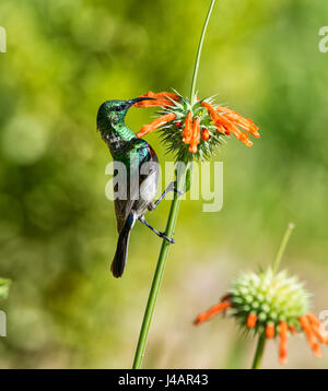 A Double-collared Sunbird perched on a WIld Dagga plant in Southern African savanna - Stock Photo