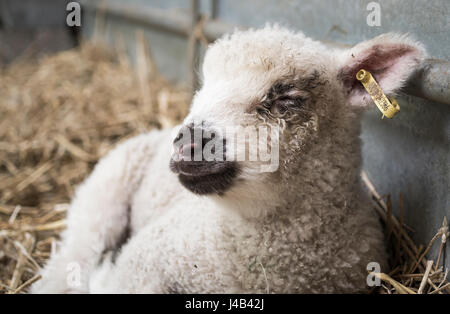 Happy white lamb lying down on hay with eyes closed in a barn on a farm - Stock Photo
