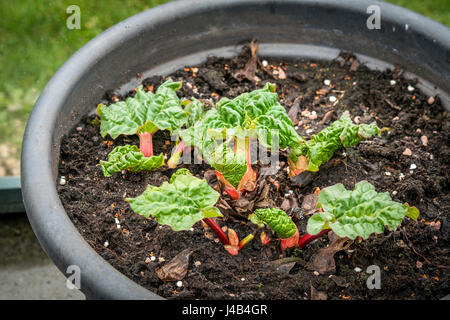 Rhubarb plant in the early stage in a large pot in a greenery - Stock Photo