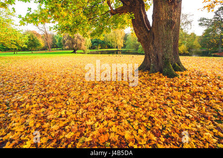 Autumn maple leaves in yellow colors covering the ground in a park in autumn under a large tree with fallen leaves - Stock Photo