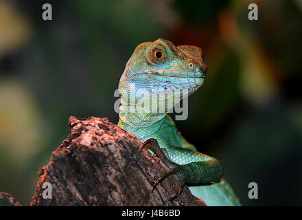 Female Central American Green plumed basilisk (Basiliscus plumifrons), a.k.a double crested basilisk or Jesus Christ - Stock Photo