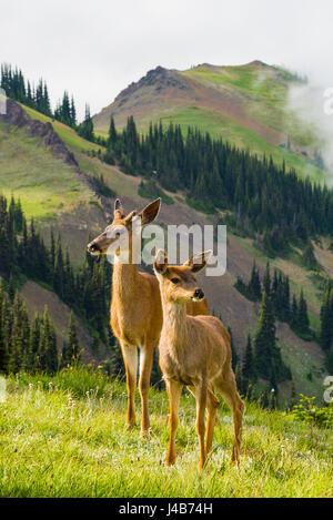 Columbian black tailed deer, Blue Mountain, Olympic National Park, Washington, USA - Stock Photo