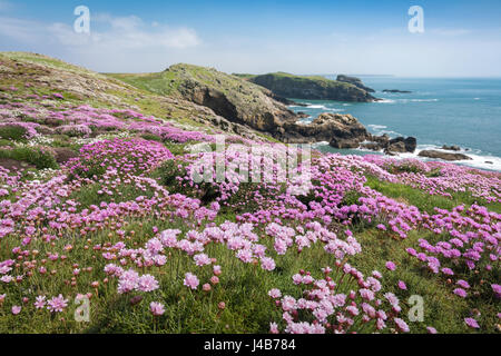 Swathes of Thrift carpet the Manx Shearwater burrows at Skomer Head on Skomer Island, Pembrokeshire, Wales, UK - Stock Photo