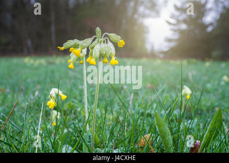 Common Cowslips wet with morning dew. - Stock Photo