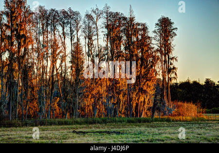 Golden light bathing cypress trees at sunset in Florida - Stock Photo