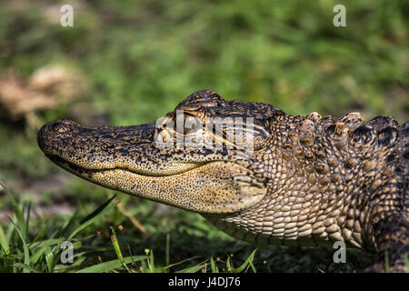 Head of a young alligator - Stock Photo