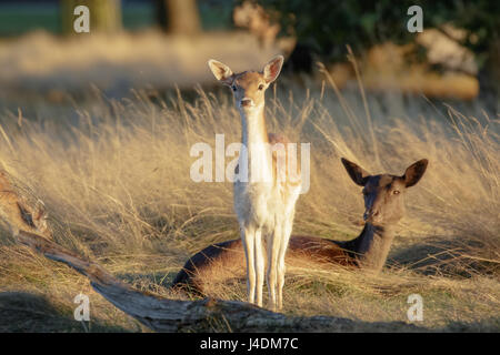 Fallow deer fawn (Dama dama) and mother female Doe behind at sunset - Stock Photo