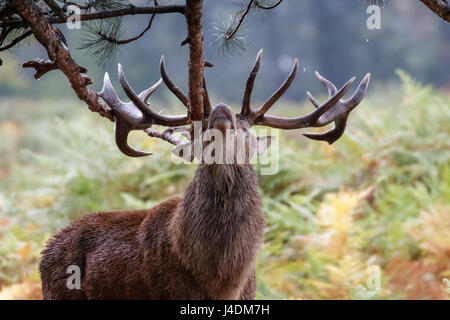 Red Deer rut stag  (Cervus elaphus) sharpening up his antlers or possibly marking territory on fir tree branches - Stock Photo