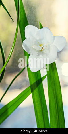 White freesia flower, window background, green plant close up. - Stock Photo