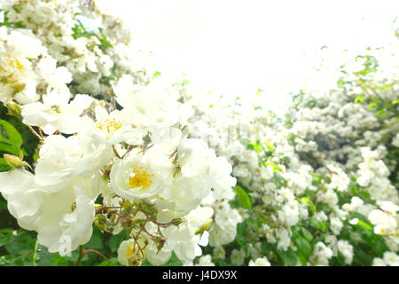 Lots of flower heads of a white rambler rose on a sunny summer day in back light and soft focus, text or copy space, - Stock Photo