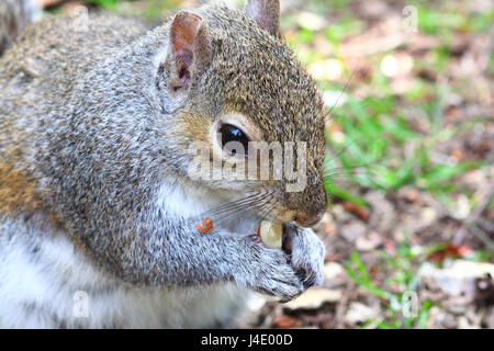 Leeds, UK. 11th May, 2017. UK Weather. A warm sunny day at Golden Acre park in Leeds, West Yorkshire. This squirrel - Stock Photo