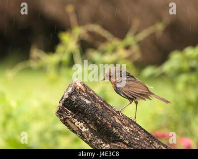 Ferring, West Sussex, UK. Friday 12th May 2017. UK Weather. Britain's favourite garden bird the Robin ventures out - Stock Photo