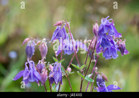 Mousehole, Cornwall, UK. 12th May 2017. UK Weather. After a prolonged dry period, rain falls on the gardens and farmers fields in Cornwall. Farmers have expressed concern over how the extremes of weather during the seasons is making it difficult for them to produce consistent yields of crops such as potatoes. Credit: Simon Maycock/Alamy Live News