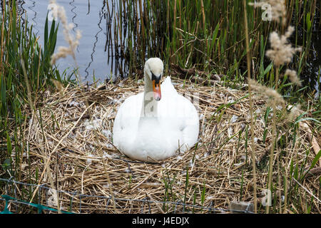 Single female swan sitting on a nest in reeds by a pond - Stock Photo