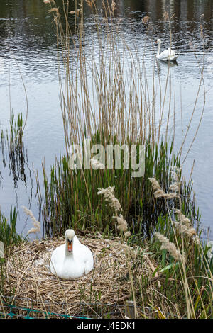 A single female swan sitting on a nest, the male (cob) bird on the pond in the background - Stock Photo