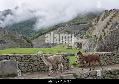 Llamas roaming in the Inca ruins of Machu Picchu, UNESCO World Heritage Site, Peru, South America - Stock Photo