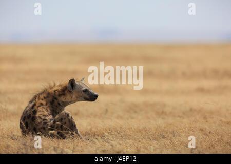 Spotted hyena (Crocuta crocuta), Ngorongoro Conservation Area, Tanzania, East Africa, Africa - Stock Photo