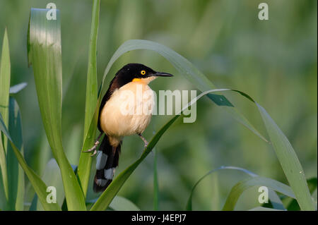 Black-capped Donacobius (Donacobius atricapilla) in vegetation, Pantanal, Mato Grosso State, Brazil, South America - Stock Photo