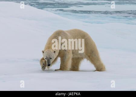 Male Polar bear (Ursus maritimus) walking on pack ice, Svalbard Archipelago, Barents Sea, Arctic, Norway, Scandinavia, - Stock Photo