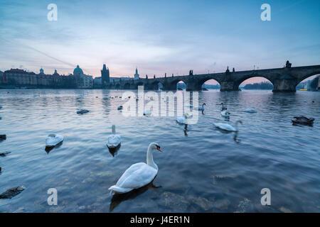 White swans on the Vltava River and the historical Charles Bridge at sunrise, UNESCO World Heritage Site, Prague, - Stock Photo