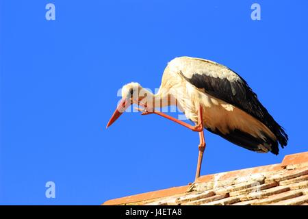White stork scratching on house roof - Stock Photo