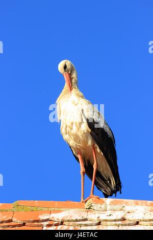 White stork scratching on the house roof - Stock Photo