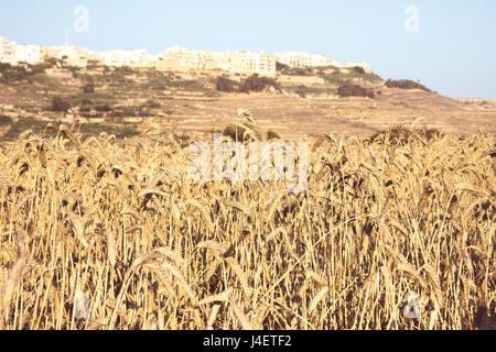 Fields of wheat on a sunny day, portrait orientation in Malta, Gozo, rural life in Malta. - Stock Photo