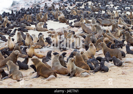 Brown fur seal Arctocephalus pusillus at Cape Cross seal colony Namibia - Stock Photo