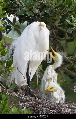 Great Egret - Ardea alba - adult feeding chicks - Stock Photo