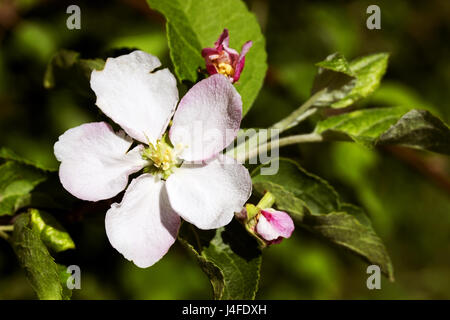 Blossoming branch of an apple tree. spring. - Stock Photo