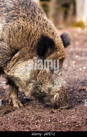 Close-up portrait of a Wild boar (Sus scrofa) eating in the wilderness. - Stock Photo