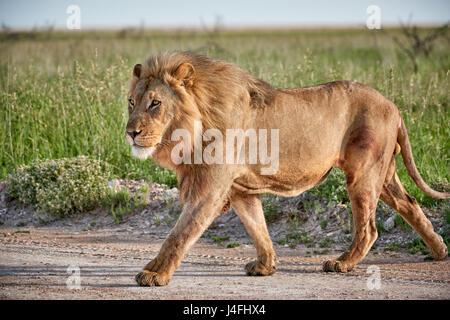 male lion (panthera leo) patrolling through  the area - Stock Photo